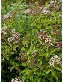 Pianta Eupatorium in Vaso...
