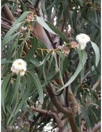 Albero Eucalipto Citriodora...