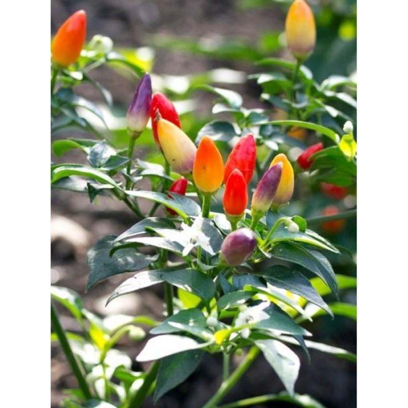 Pianta capsicum for Acquisto piante peperoncino