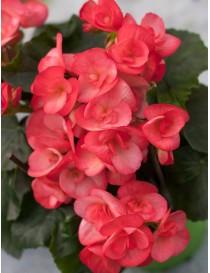 Pianta Begonia Elatior in...