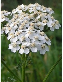 Pianta Achillea Millefolium...