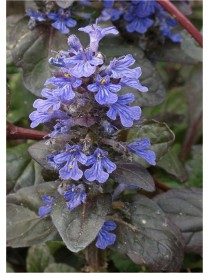 Pianta Ajuga Disponibile in...