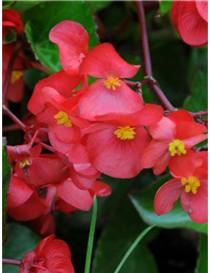 Bulbi Pianta Begonia