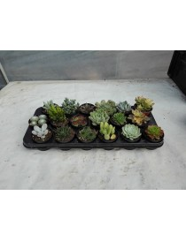 Piante Succulente Mix