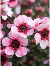 Pianta Leptospermum in Vaso...