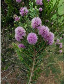 Pianta Melaleuca Acuminata...