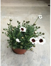Pianta Rhodanthemum in Vaso...