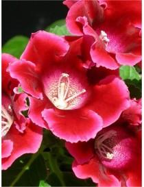 Pianta Gloxinia in vaso 14...