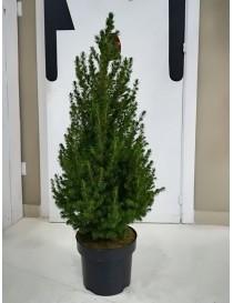 Albero Pino Picea vaso 17cm...