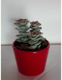 Pianta Crassula in Vaso 8cm...