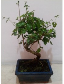 Bonsai Ligustrum Shape