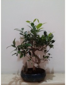 Bonsai Ficus Rock